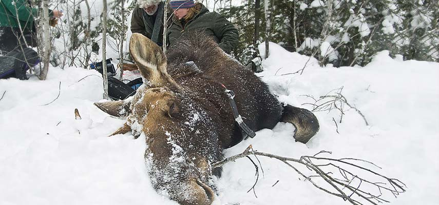 A bull moose gets a health check from Minnesota Department of Natural Resources scientists. They are working with UMD's Natural Resources Research Institute to understand why Minnesota's moose populations may be in decline.