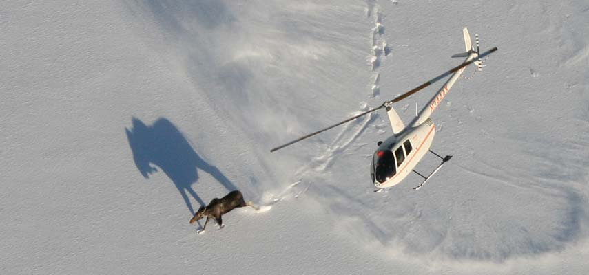 Helicopter crew move in to tranquilize a moose in Quetico Provincial Park, Ontario, as part of a research project led by UMD's Natural Resources Research Institute. The project is the largest ever undertaken to understand why Minnesota's moose populations may be declining.