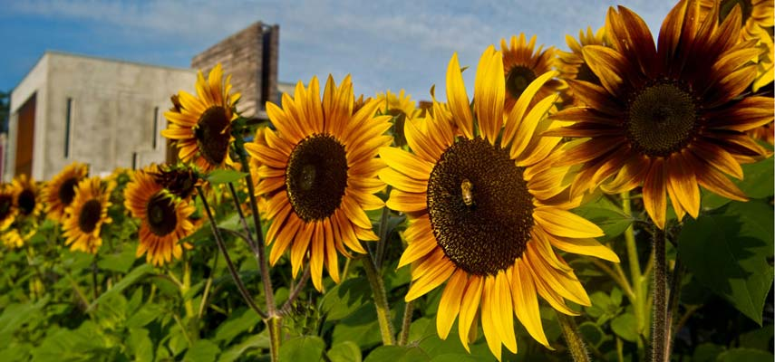 Sunflowers were grown on the UMD campus as part of the 2011 Edible Gardens project.