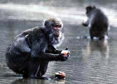 Koshima Monkey