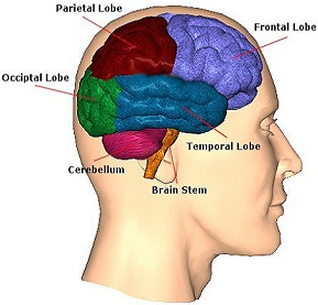 Image of brain areas.