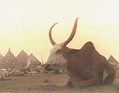 Nuer cattle