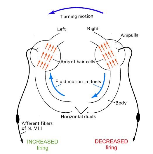 Semicircular Canals Movement