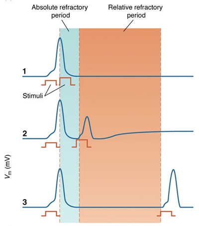 refractory periods absolute and relative dating
