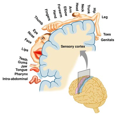 Image result for sensory cortex