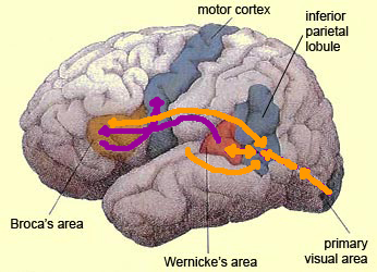 primary visual cortex