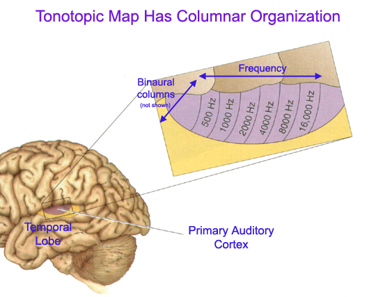 tonotopic maps